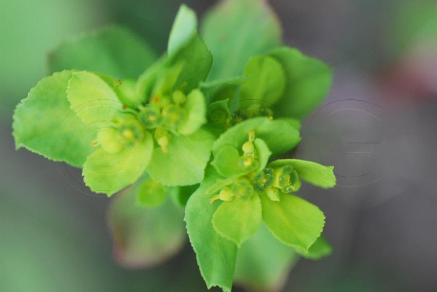 Sonnenwend-Wolfsmilch / Euphorbia helioscopia