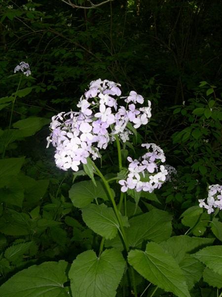 Wilde Mondviole / Lunaria rediviva